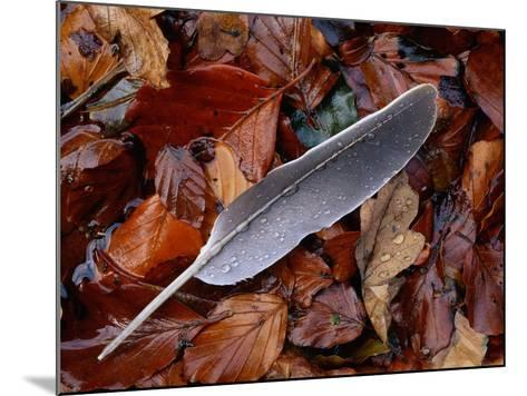 Wood Pigeon Feather Amongst Fallen Leaves-Niall Benvie-Mounted Photographic Print