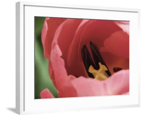 Peering Inside Tulip--Framed Art Print