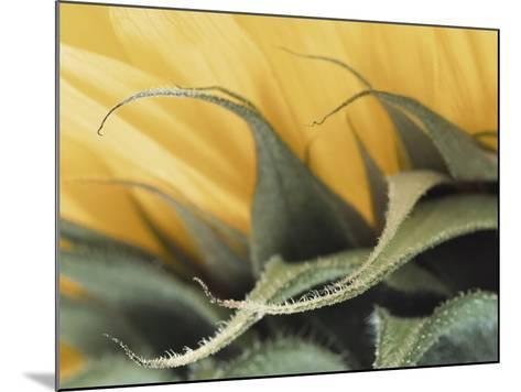 Sunflower Detail--Mounted Photographic Print