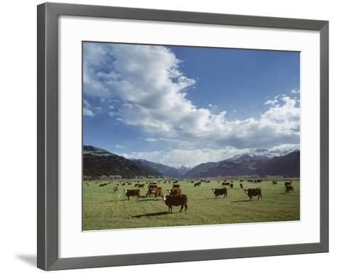 Cattle Grazing on Farmland--Framed Art Print