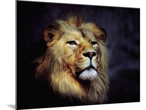 Male Lion--Mounted Photographic Print
