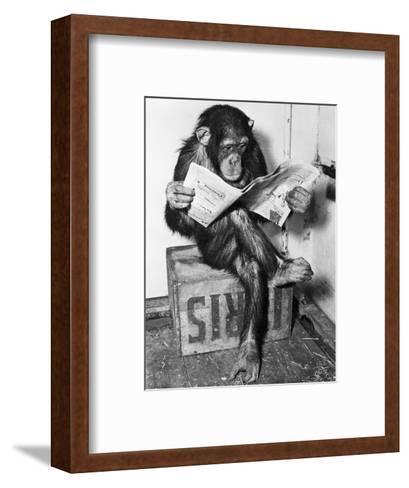 Chimpanzee Reading Newspaper-Bettmann-Framed Art Print