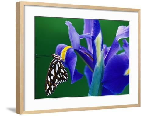 Fritillary Butterfly on a Dutch Iris-Darrell Gulin-Framed Art Print