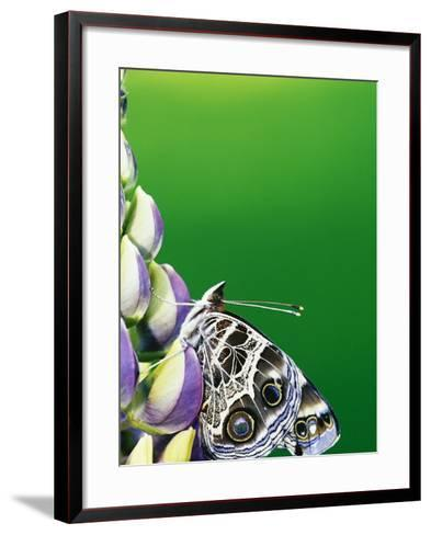 American Painted Lady on a Lupine-Darrell Gulin-Framed Art Print