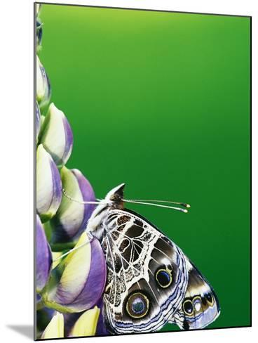 American Painted Lady on a Lupine-Darrell Gulin-Mounted Photographic Print