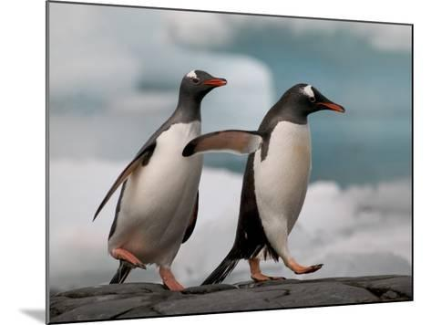Two Gentoo Penguins-Darrell Gulin-Mounted Photographic Print