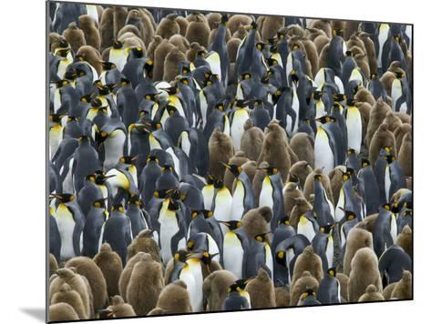 King Penguin Colony on South Georgia Island-Darrell Gulin-Mounted Photographic Print