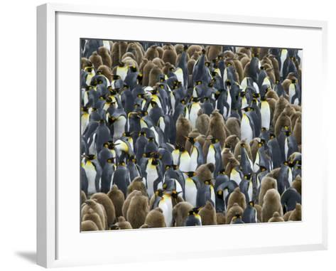 King Penguin Colony on South Georgia Island-Darrell Gulin-Framed Art Print