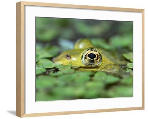 Edible Frog--Framed Art Print