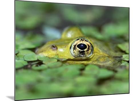 Edible Frog--Mounted Photographic Print