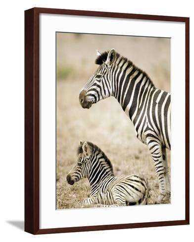 Burchell's Zebra--Framed Art Print
