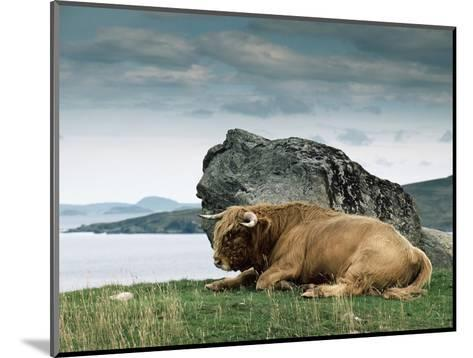 Highlander Bull--Mounted Photographic Print