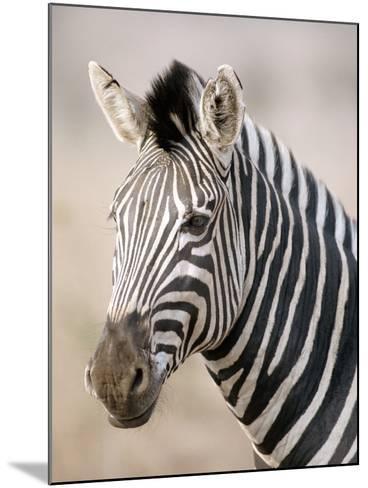 Burchell's Zebra--Mounted Photographic Print