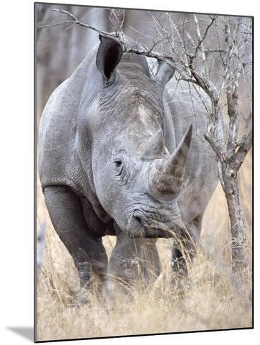 White Rhinoceroses--Mounted Photographic Print