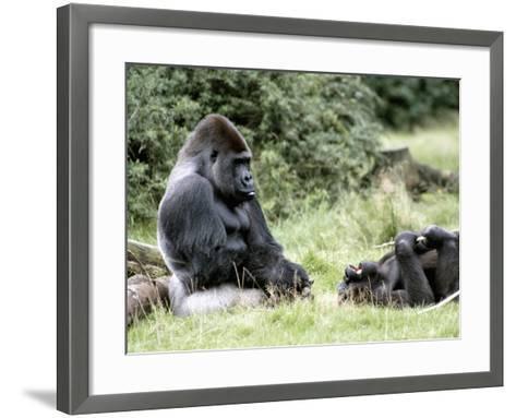 Western Lowland Gorillas--Framed Art Print