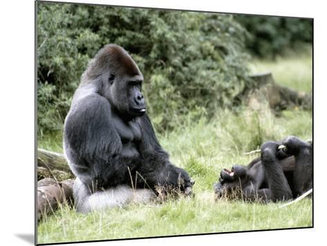Western Lowland Gorillas--Mounted Photographic Print