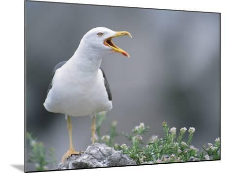 Lesser Black-Backed Gull--Mounted Photographic Print