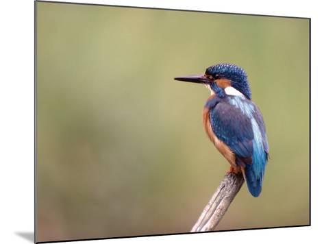 Common Kingfisher--Mounted Photographic Print