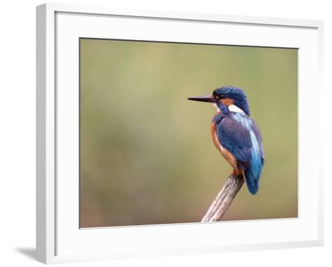 Common Kingfisher--Framed Art Print