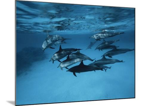 Pod of Dolphins--Mounted Photographic Print