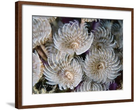 Magnificent Feather Duster Worms--Framed Art Print