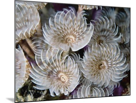 Magnificent Feather Duster Worms--Mounted Photographic Print