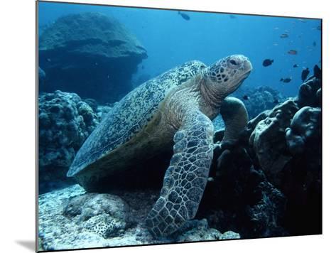 Green Sea Turtle--Mounted Photographic Print