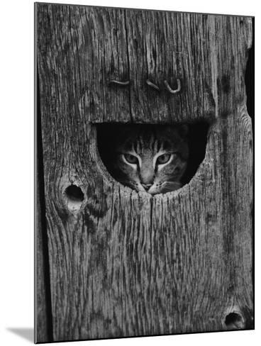 Cat Peeking Out from Barn-Josef Scaylea-Mounted Photographic Print