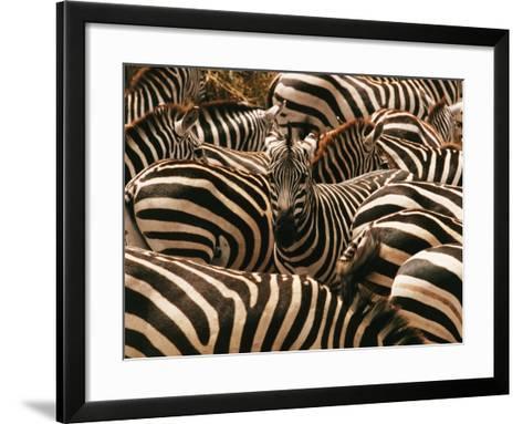 Herd of Zebras-John Conrad-Framed Art Print