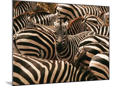 Herd of Zebras-John Conrad-Mounted Photographic Print