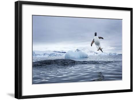 Gentoo Penguin on Cuverville Island, Antarctica-Paul Souders-Framed Art Print