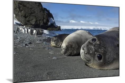 Weddell Seals on Livingstone Island, Antarctica-Paul Souders-Mounted Photographic Print