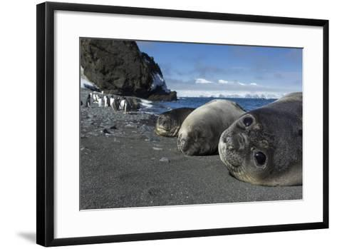 Weddell Seals on Livingstone Island, Antarctica-Paul Souders-Framed Art Print