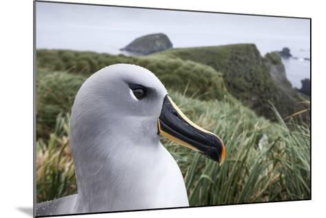 Gray-Headed Albatross on Diego Ramirez Islands, Chile-Paul Souders-Mounted Photographic Print