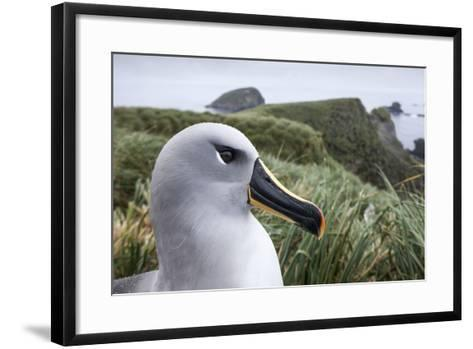 Gray-Headed Albatross on Diego Ramirez Islands, Chile-Paul Souders-Framed Art Print