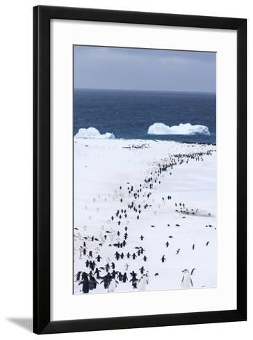 Chinstrap Penguins in Snow, Deception Island, Antarctica-Paul Souders-Framed Art Print