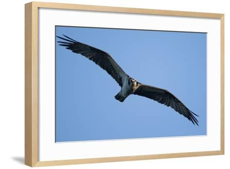 Peregrine Falcon, Acadia National Park, Maine-Paul Souders-Framed Art Print