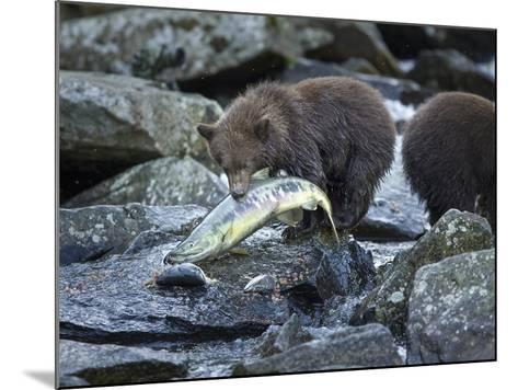 Brown Bear Cub and Huge Salmon, Katmai National Park, Alaska-Paul Souders-Mounted Photographic Print