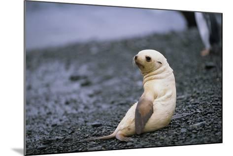 Antarctic Fur Seal Pup-Paul Souders-Mounted Photographic Print
