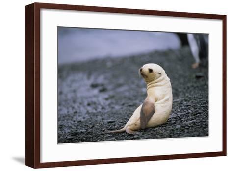 Antarctic Fur Seal Pup-Paul Souders-Framed Art Print