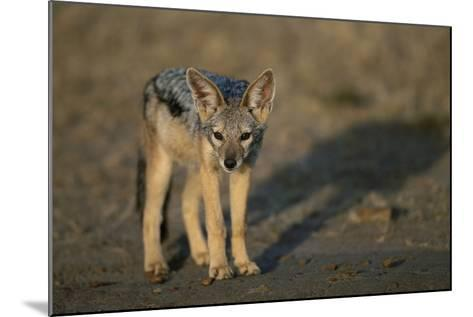 Jackal Pup-Paul Souders-Mounted Photographic Print