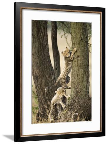 Cheetah Cubs Playing at Ngorongoro Conservation Area, Tanzania-Paul Souders-Framed Art Print