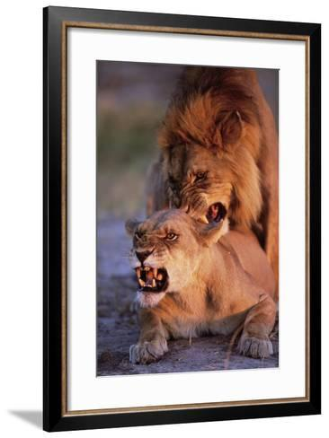 Lions Snarling While Mating-Paul Souders-Framed Art Print