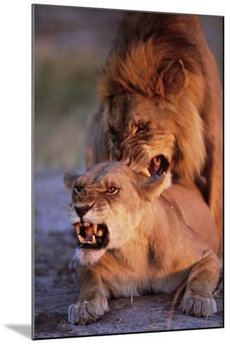 Lions Snarling While Mating-Paul Souders-Mounted Photographic Print