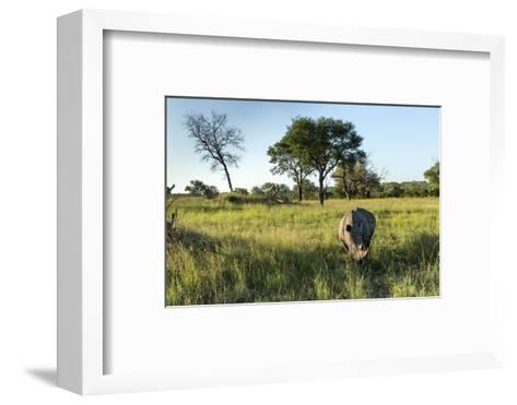 White Rhinoceros, Sabi Sabi Reserve, South Africa-Paul Souders-Framed Art Print