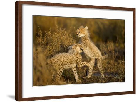 Playing Cheetah Cubs-Paul Souders-Framed Art Print