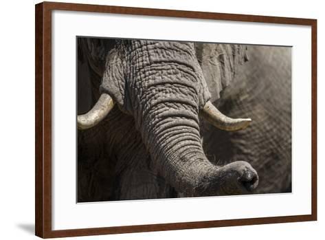 Bull Elephant Trunk and Tusks, Makgadikgadi Pans National Park, Botswana-Paul Souders-Framed Art Print