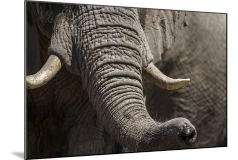 Bull Elephant Trunk and Tusks, Makgadikgadi Pans National Park, Botswana-Paul Souders-Mounted Photographic Print