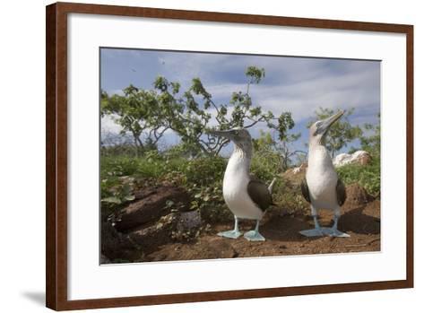 Pair of Blue-Footed Boobies-Paul Souders-Framed Art Print