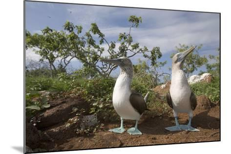 Pair of Blue-Footed Boobies-Paul Souders-Mounted Photographic Print